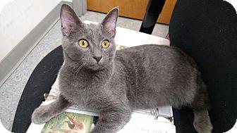 Domestic Shorthair Cat for adoption in St. Louis, Missouri - Ashton