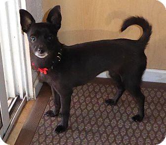 Chihuahua Mix Dog for adoption in San Diego, California - Hannah