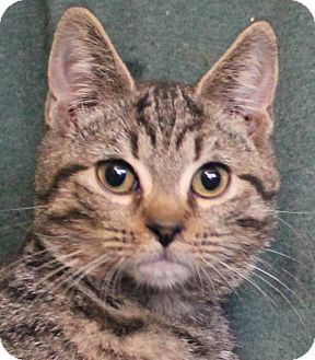 Domestic Shorthair Kitten for adoption in Colonial Heights, Virginia - Tiger