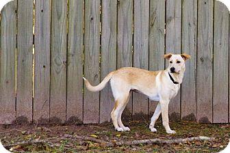 Labrador Retriever Mix Dog for adoption in Brattleboro, Vermont - Izzy