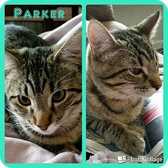 Domestic Shorthair Kitten for adoption in Arlington/Ft Worth, Texas - Parker