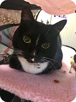 Domestic Shorthair Cat for adoption in Wantagh, New York - Trinity