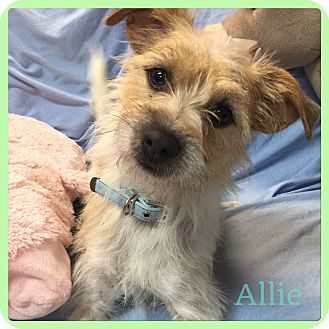 Cairn Terrier/Terrier (Unknown Type, Small) Mix Dog for adoption in Hollywood, Florida - Allie