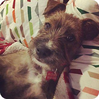 Schnauzer (Miniature)/Terrier (Unknown Type, Medium) Mix Puppy for adoption in Hagerstown, Maryland - Pickles