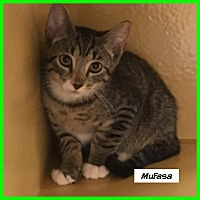 Adopt A Pet :: Mufasa - Miami, FL