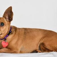 Adopt A Pet :: Milky way - Medford, OR