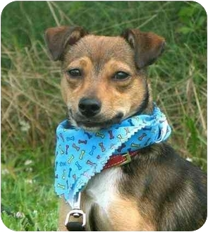 Terrier (Unknown Type, Small) Mix Dog for adoption in Portsmouth, Rhode Island - Smiley
