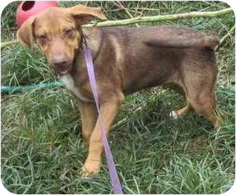 Beagle/Hound (Unknown Type) Mix Puppy for adoption in Kansas City, Missouri - Barney