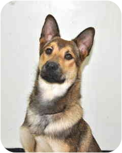 Shepherd (Unknown Type) Mix Dog for adoption in Port Washington, New York - Satch