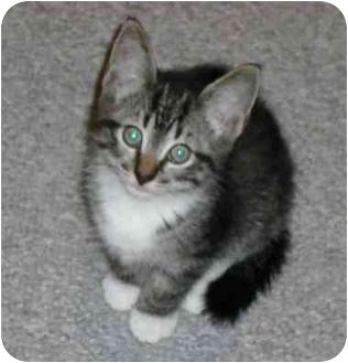 Domestic Shorthair Kitten for adoption in Sheboygan, Wisconsin - Doppler