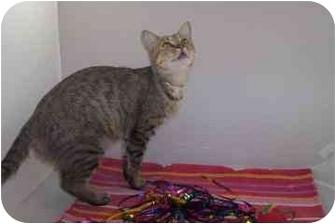 Domestic Shorthair Cat for adoption in North Charleston, South Carolina - Kasumo