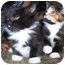 Photo 2 - Domestic Shorthair Kitten for adoption in Chicago, Illinois - TUXIE AND TORTIE