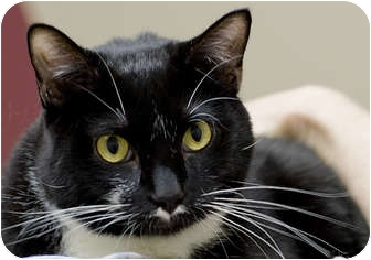 Domestic Shorthair Cat for adoption in Chicago, Illinois - DeDe
