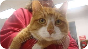 Domestic Shorthair Cat for adoption in Hamburg, New York - Rusty