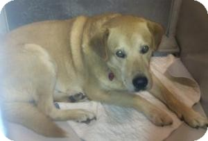 Labrador Retriever Mix Dog for adoption in Olathe, Kansas - Sam