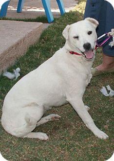 Labrador Retriever Mix Dog for adoption in Phoenix, Arizona - Chalupa