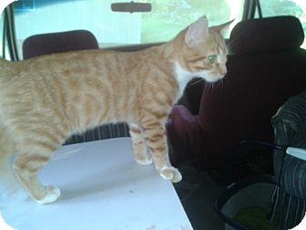 Domestic Shorthair Kitten for adoption in Acme, Pennsylvania - Oz