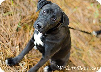Labrador Retriever Mix Puppy for adoption in Monroe, Georgia - TREAT
