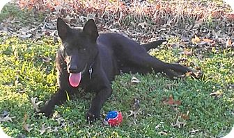 German Shepherd Dog/Labrador Retriever Mix Dog for adoption in Nashville, Tennessee - Jet