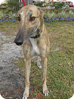 Greyhound Dog for adoption in Gainesville, Florida - Reward