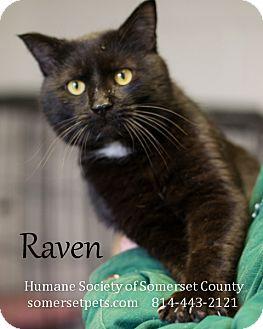 Domestic Shorthair Cat for adoption in Somerset, Pennsylvania - Raven
