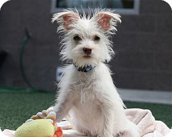 Terrier (Unknown Type, Small) Mix Puppy for adoption in Coronado, California - Bisquick