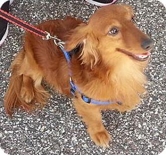 Dachshund Mix Dog for adoption in Brooksville, Florida - Max