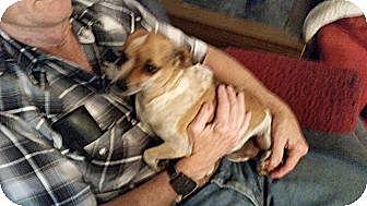 Chihuahua Dog for adoption in TAHOKA, Texas - FRECKLES