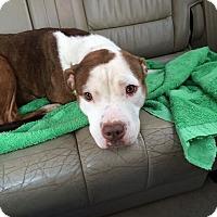 Adopt A Pet :: Poppy - Park Ridge, NJ