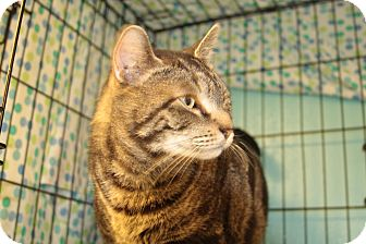 Domestic Shorthair Cat for adoption in Warwick, Rhode Island - Swirly