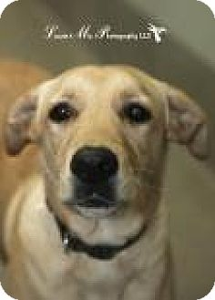 Golden Retriever/Labrador Retriever Mix Dog for adoption in Columbus, Georgia - Captain 0462