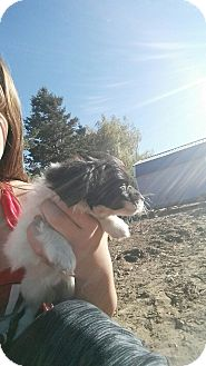 Terrier (Unknown Type, Small) Mix Puppy for adoption in Othello, Washington - Shirley