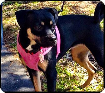 Pug/Manchester Terrier Mix Dog for adoption in Buffalo, New York - Princess Sydney
