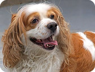 Cocker Spaniel Mix Dog for adoption in Philadelphia, Pennsylvania - Cody