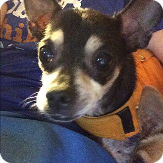 Chihuahua Dog for adoption in S. Pasedena, Florida - Bennie