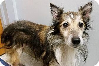Sheltie, Shetland Sheepdog Dog for adoption in COLUMBUS, Ohio - Celeste