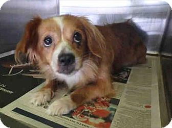 Spaniel (Unknown Type) Mix Dog for adoption in Encino, California - Evie