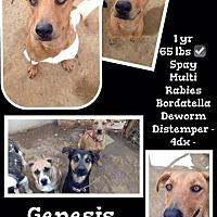 Adopt A Pet :: Genisis - Denver, CO