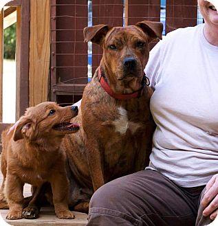 Plott Hound/Terrier (Unknown Type, Medium) Mix Dog for adoption in Portland, Maine - Muppy