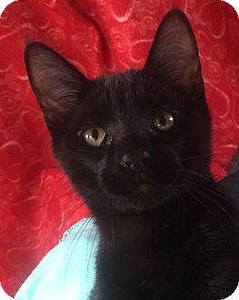 Domestic Shorthair Kitten for adoption in Bloomsburg, Pennsylvania - Guinness