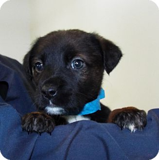 Rottweiler/Australian Cattle Dog Mix Puppy for adoption in Grants Pass, Oregon - Nike