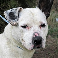 American Staffordshire Terrier Mix Dog for adoption in Germantown, Maryland - River
