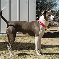 Pit Bull Terrier Mix Dog for adoption in Bisbee, Arizona - Precious