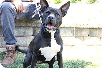 Pit Bull Terrier Mix Dog for adoption in Greensboro, North Carolina - Lola