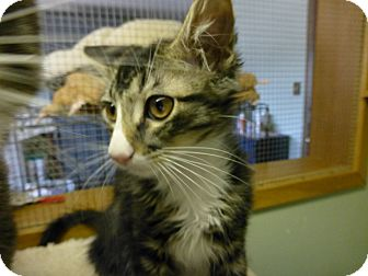 Domestic Mediumhair Kitten for adoption in Quincy, California - Chester