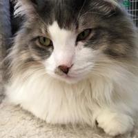 Adopt A Pet :: Sam - Sheridan, WY