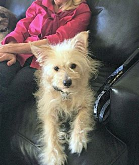 Maltese/Terrier (Unknown Type, Small) Mix Dog for adoption in Redondo Beach, California - Bella is practically perfect!