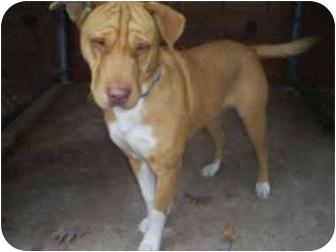 Boxer/Shar Pei Mix Dog for adoption in Bay City, Michigan - Honey