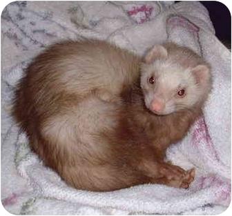 Ferret for adoption in Honesdale, Pennsylvania - Slink
