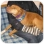 Photo 3 - American Pit Bull Terrier Mix Dog for adoption in Berkeley, California - Effie